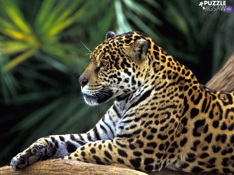 Jaguar animal paw - photo#15