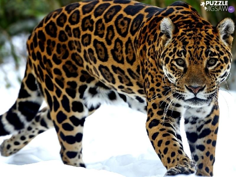 Snow jaguar puzzle jigsaw